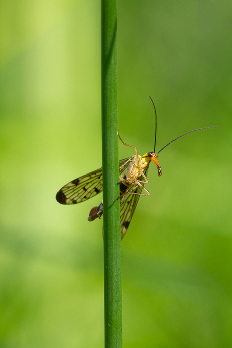 nieuwsgierige schorpioenvlieg