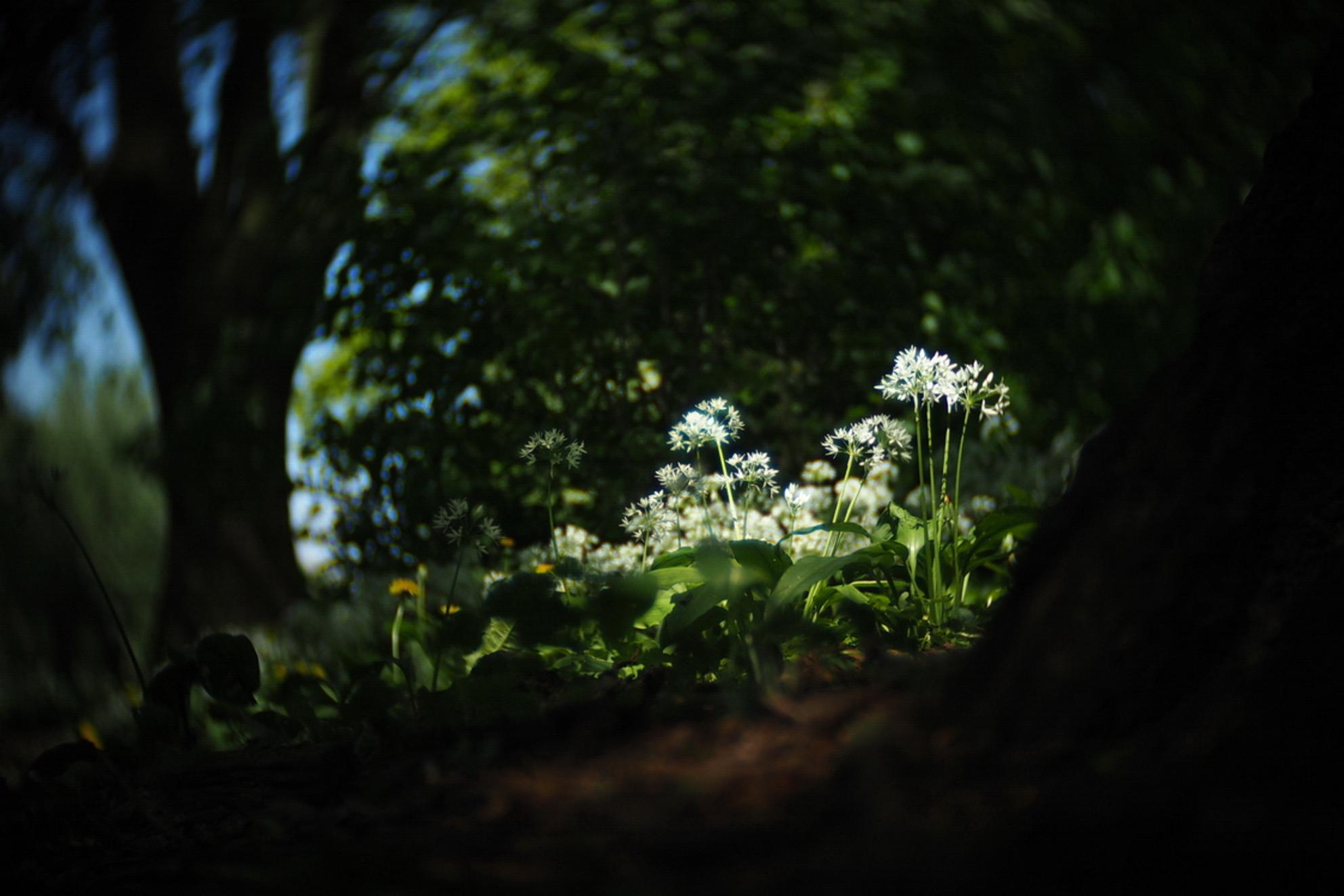 Daslook - fotowedstrijd puur natuur inzending 3 - Inzending voor de fotowedstrijd puur natuur. Een serie foto's van daslook dat in het voorjaar in het wild bloeit. Het draaierige en wat kleurrijkere/ - foto door mdebeer op 31-12-2018 - deze foto bevat: boom, bloem, lente, natuur, landschap, bos, voorjaar, nederland - Deze foto mag gebruikt worden in een Zoom.nl publicatie