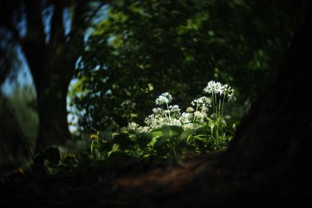 Daslook - fotowedstrijd puur natuur inzending 3 - Inzending voor de fotowedstrijd puur natuur. Een serie foto's van daslook dat in het voorjaar in het wild bloeit. Het draaierige en wat kleurrijkere/ - foto door mdebeer op 31-12-2018 - deze foto bevat: boom, bloem, lente, natuur, landschap, bos, voorjaar, nederland