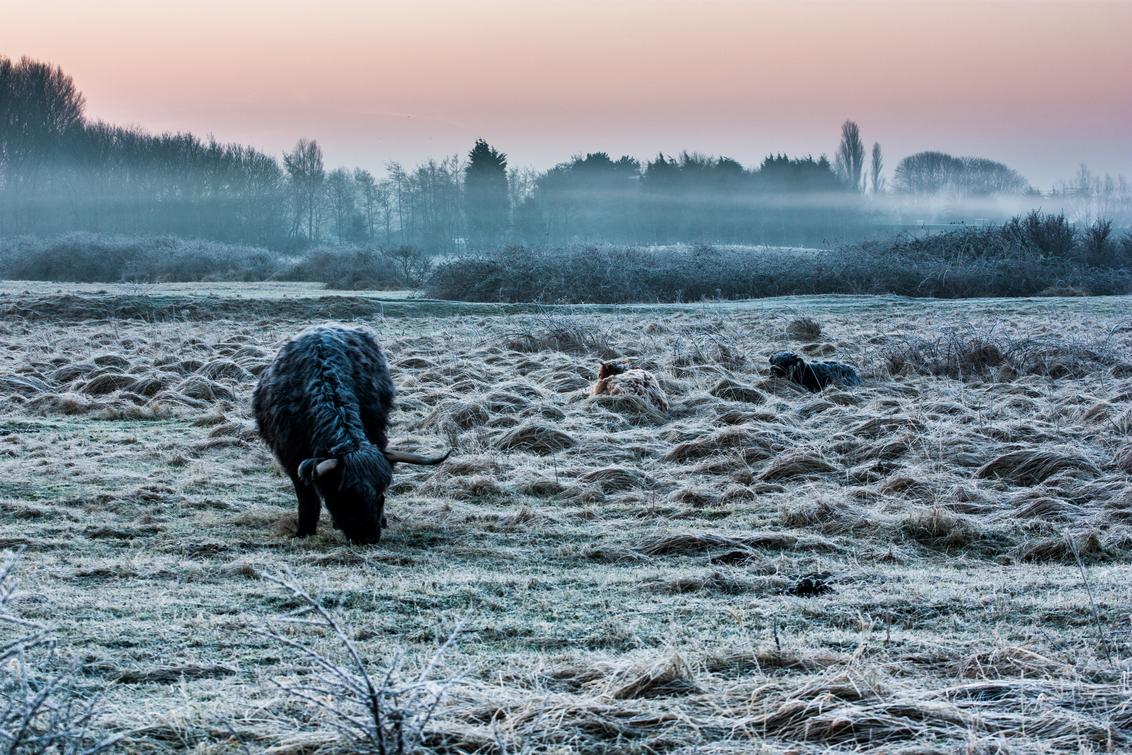 Frozen - Het land is even omgetoverd tot een wit wonderland. De hooglanders hebben zich genesteld in het hoge gras, de rijp is zelfs zichtbaar op hun dikke is - foto door FerdinandMul op 26-01-2015 - deze foto bevat: landschap, duinen, nevel, zonsopkomst, bomen, nederland, fotografie, vrieskou, vriezen, schotse hooglanders, winter wonder land