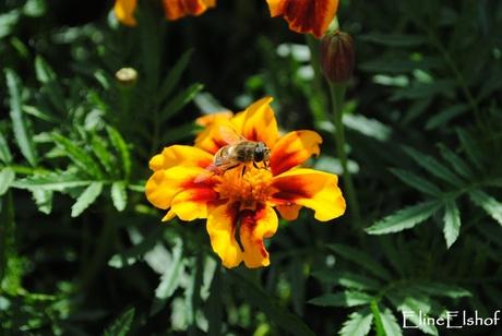 Wesp (?) op bloem
