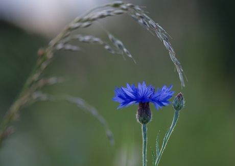 koren bloem