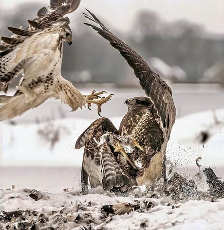 Buizerd gevecht