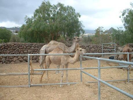 kameel :)