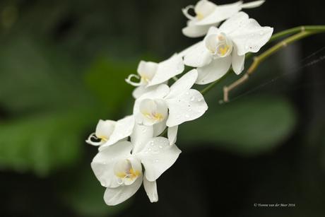 Orchidee in vlindertuin...