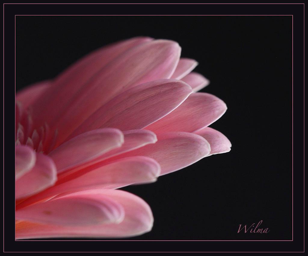 GERBERA - Mooie roze Gerbera blaadjes!! - foto door wilma71_zoom op 25-11-2013 - deze foto bevat: roze, gerbera, blaadjes, binnen, wilma71
