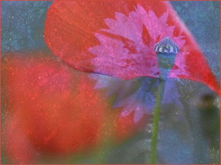 PAPAVER EN KORENBLOEM - Deze foto is niet bewerkt, maar een 3 dubbele opname van een papaver en een korenbloem. Een beetje kunst? - foto door lucievanmeteren op 28-07-2017 - deze foto bevat: roze, rood, macro, bloem, natuur, tuin, zomer, dubbele opname
