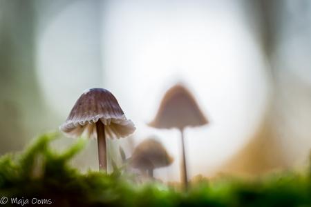Three of us... - Nog een foto van denk 2 weken terug...momenteel niet zo heel veel tijd, ruimte, of welke smoes kan ik hier nog meer zetten om niet naar het bos te ga - foto door mb83 op 27-11-2018 - deze foto bevat: macro, natuur, licht, paddestoel, herfst, bos, dof, bokeh
