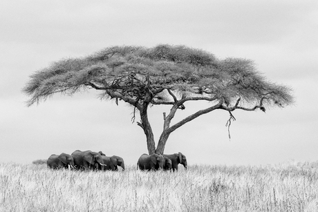 Olifanten in Tarangire NP z/w