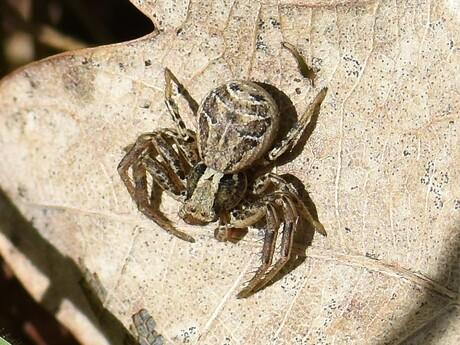 Krabspin - Xysticus spec.