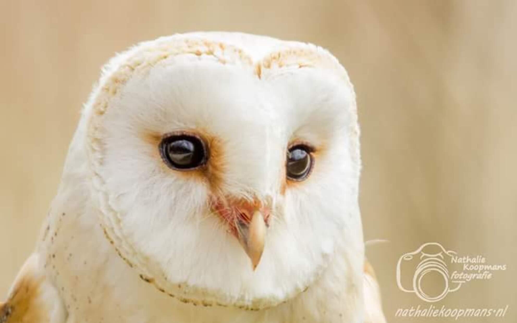 Prachtig uiltje - Uiltje op beeld - foto door nathaliekoopmansfotografie op 20-06-2017 - deze foto bevat: uil, dieren, roofvogel
