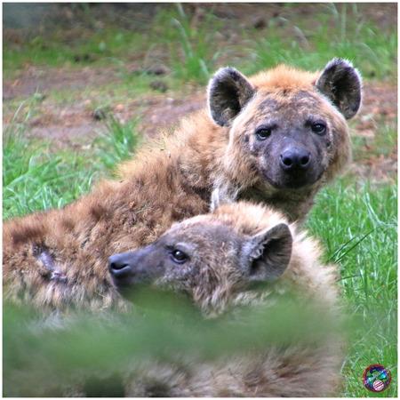 Hmm, ... jij weer ... - - - foto door willemdanker op 05-12-2018 - deze foto bevat: dierentuin, hyena, afrika, amersfoort, roofdier