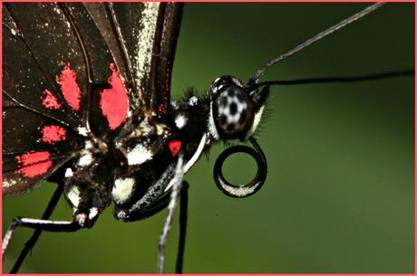 EK vlinder