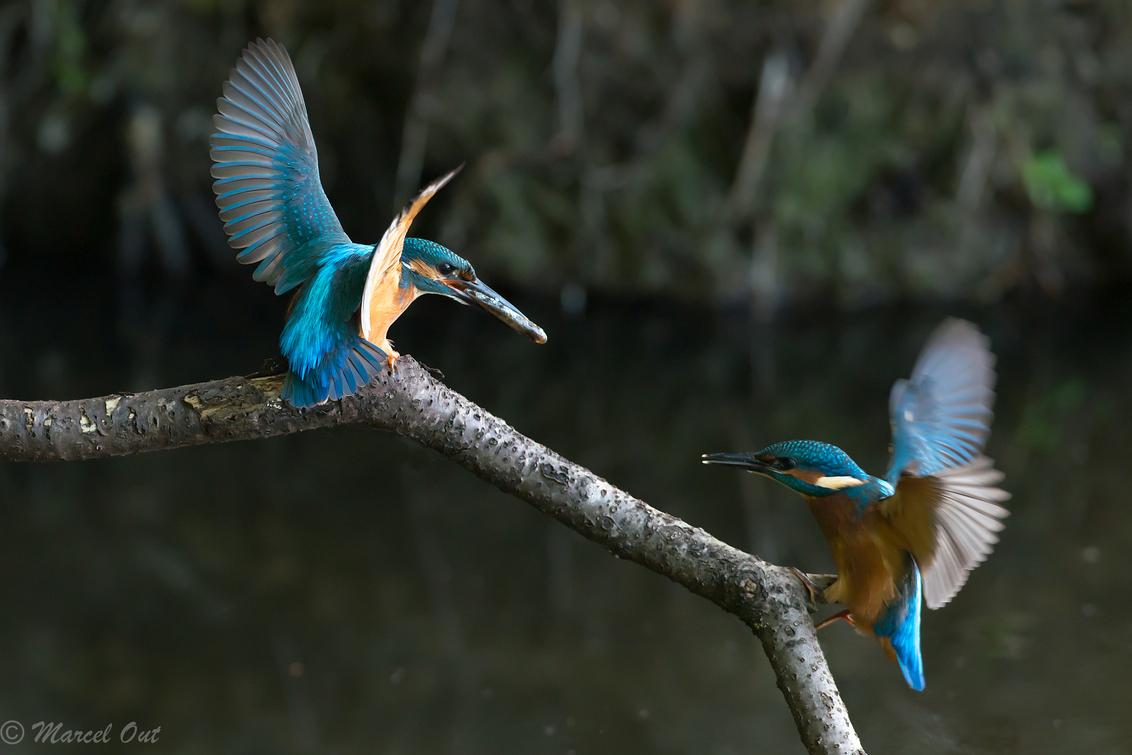 Ijsvogels - Pa en jong ijsvogel. De uitgevlogen jongen komen nog regelmatig bedelen om een visje. - foto door marcelout op 31-05-2014 - deze foto bevat: water, vogel, vis, ijsvogel