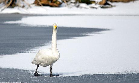 Zwaan in de sneeuw