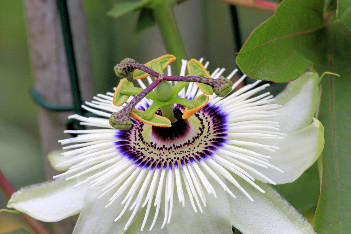 Passibloem - Je blijft je verbazen ……. - foto door RobZuydervelt op 19-12-2020 - deze foto bevat: groen, wit, bloem, geel, vlindertuin