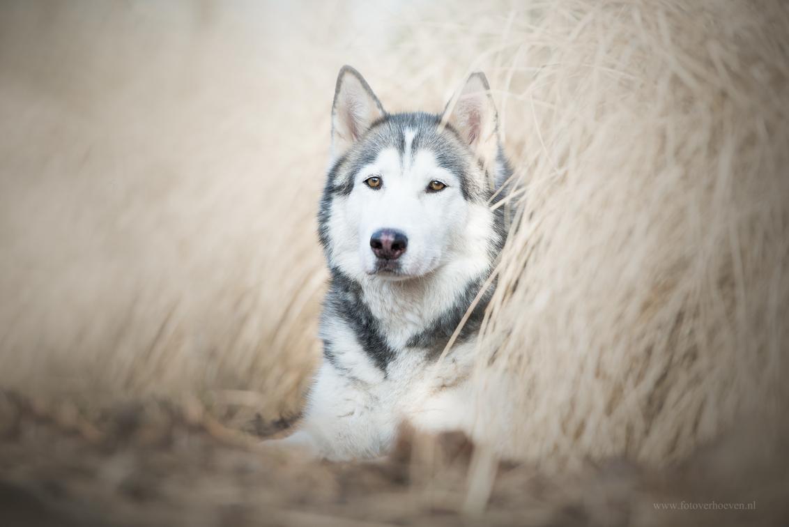 Cody - Hond Cody in Rotterdam. - foto door HannahV op 23-03-2018 - deze foto bevat: natuur, portret, huisdier, bos, hond, riet, ogen, husky