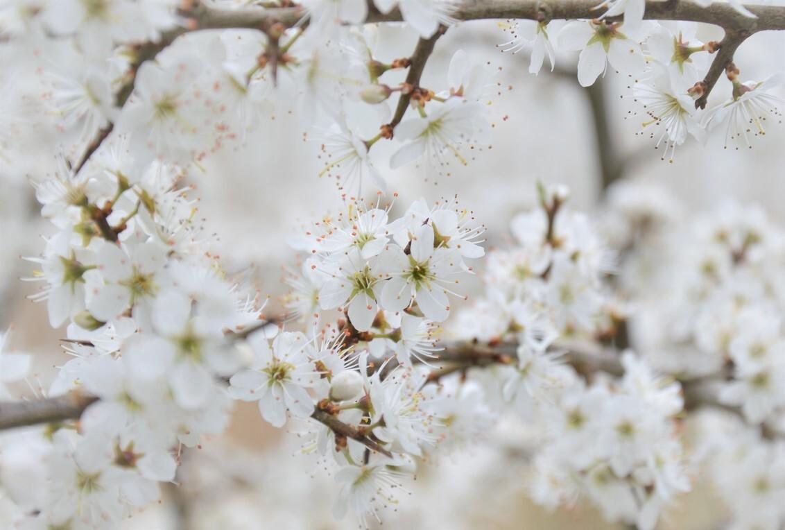 Bloesem in het bos - Sereen wit - foto door JacobaCornelia op 20-03-2020 - deze foto bevat: wit, bloem, lente, bos, voorjaar, teder