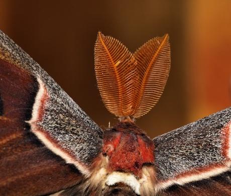 Macro van een Atlasvlinder