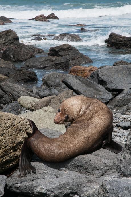 Zeehond op Cape Palliser