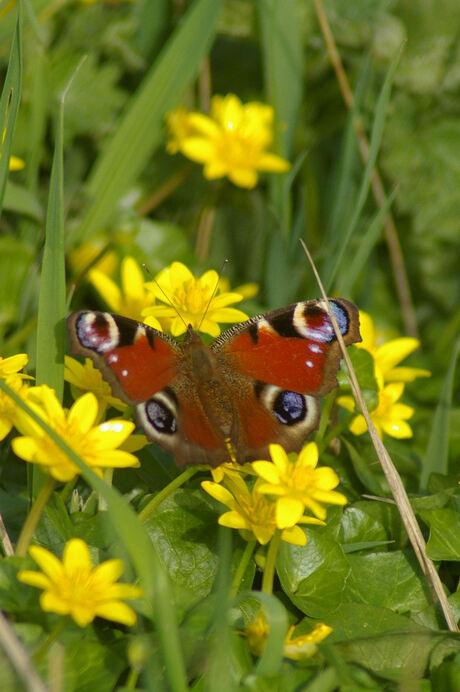 Mijn eerste vlinder in 2009