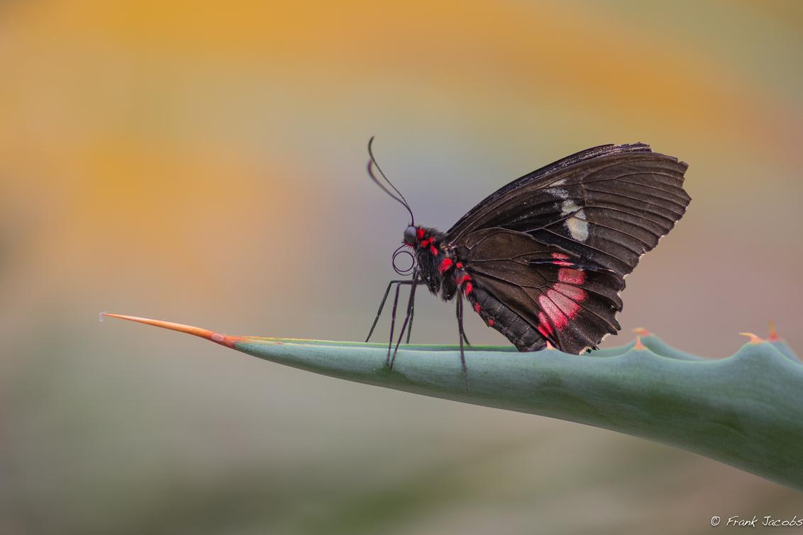 Klaar om te vertrekken - - - foto door frankjacobs op 26-04-2015 - deze foto bevat: groen, macro, zon, bloem, natuur, vlinder, geel, licht, oranje, insect, vlindertuin, dof, berkenhof, kwadendamme, tropical zoo, frank jacobs, nikon d7200