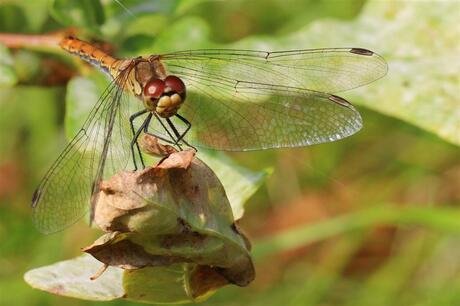 Libelle in De Schaopedobbe