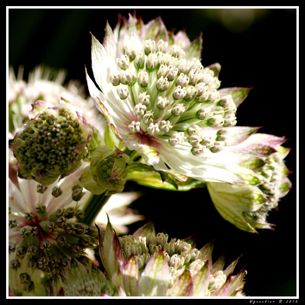 Tuinboeketje - Close-up van een tuinplantje dat er zo van dichtbij uitziet als een veldboeket. - foto door joli103 op 26-01-2010 - deze foto bevat: tuin, boeket, zeeuws knoopje