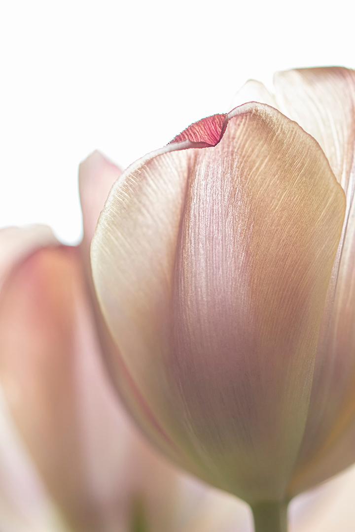 Klein ezelsoor - Tegenlicht opname.   Bedankt voor de fijne reacties bij mijn vorige opname. - foto door Dodsi op 21-03-2021 - deze foto bevat: macro, bloem, natuur, licht, waterjuffer, nerven, bloemblad