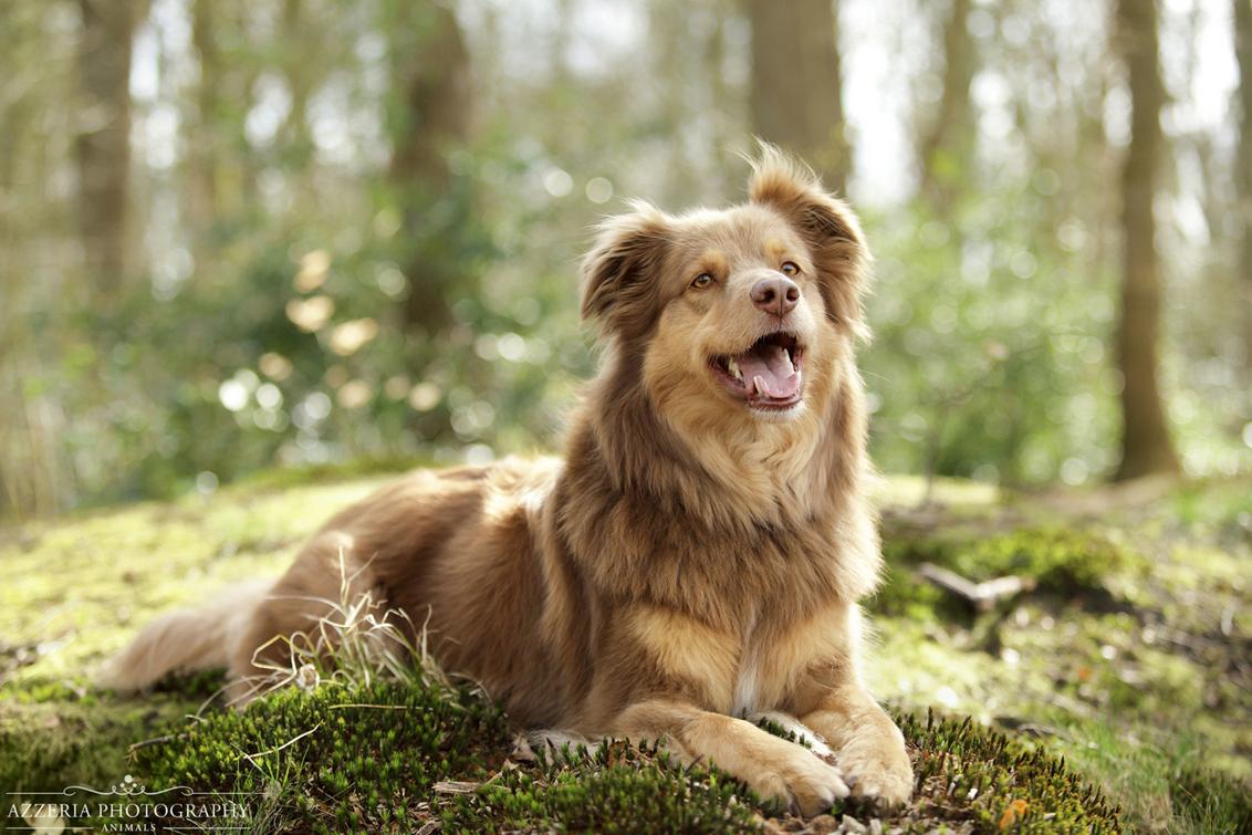Kudi - Portret van de prachtige Kudi uit mijn laatste huisdieren fotoshoot. Ik vind het geweldig dat het eindelijk lente is, het zorgt voor zulke mooie scen - foto door AzzeriaPhotographyPets op 28-04-2015 - deze foto bevat: zon, soft, lente, natuur, dieren, huisdier, hond, tegenlicht, fotograaf, photoshop, natuurlijk, fotografie, assen, dof, fotoshoot, bokeh, shepherd, hond fotograaf, australian shepherd, natuur licht, azzeriaphotography, azzeria, huisdieren fotograaf, hond fotografie
