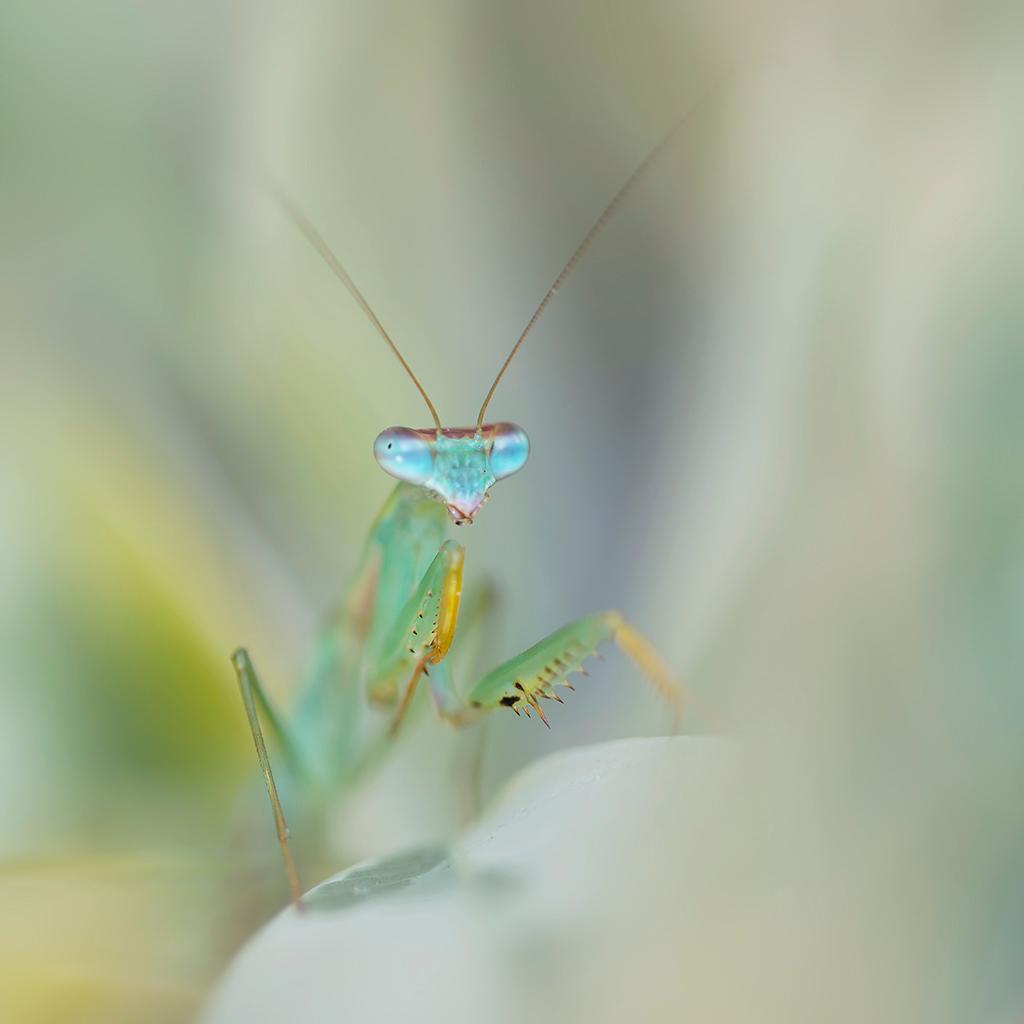 So sweet but oh so dangerous - Die blauwe ogen, bijna hypnotiserend. Ze lijkt dan ook zo lief deze schoonheid. Maar schijn bedriegt, kijk maar eens daar de stekels onder de poten - foto door h.meeuwes op 16-02-2018 - deze foto bevat: blauw, ogen, contact, dof, gevaarlijk, bidsprinkhaan, groot diafragma