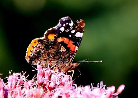 zomers - Een zomers beeld. - foto door Derine op 29-08-2012 - deze foto bevat: macro, vlinder, zomer