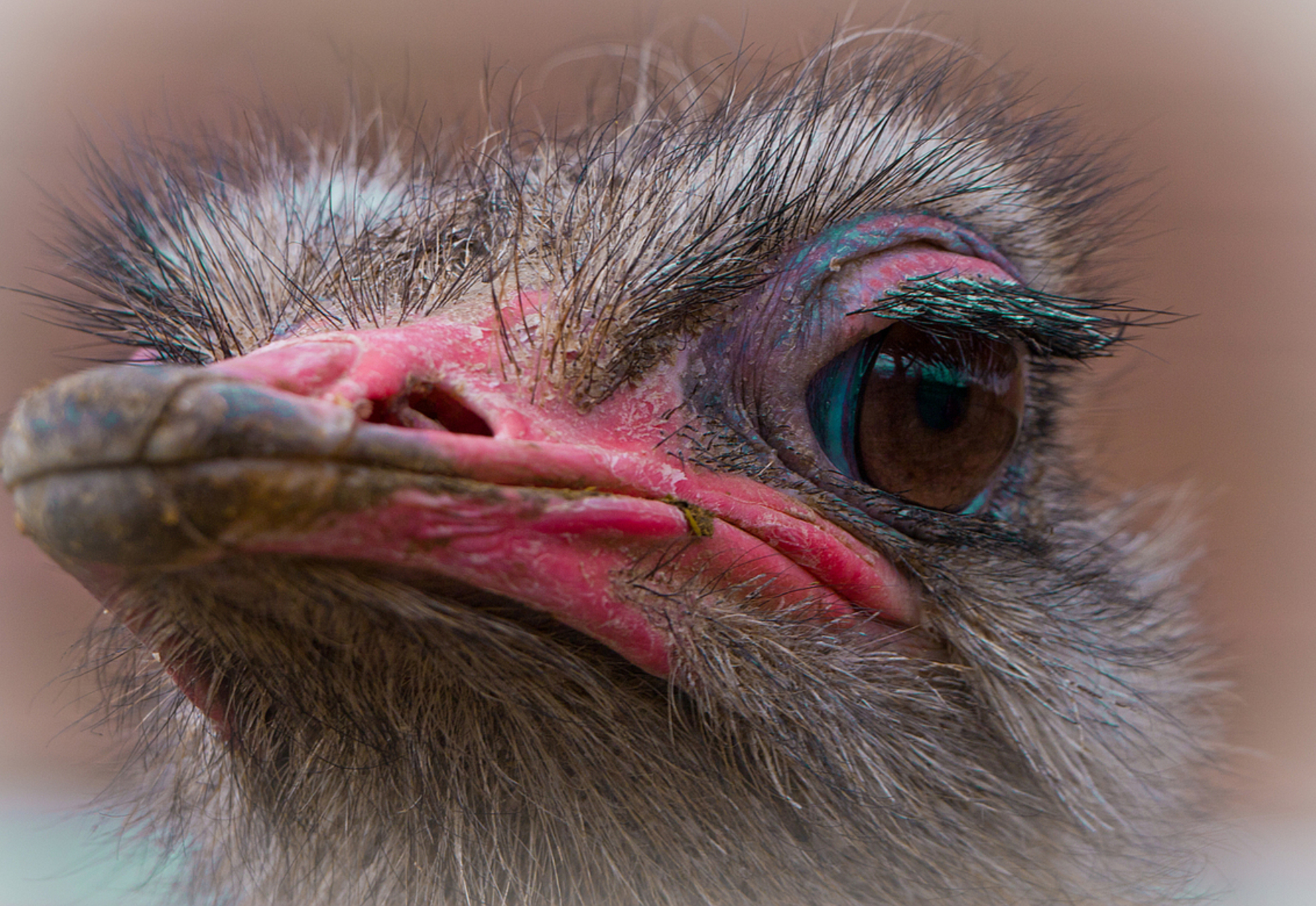 ***** Kiekeboe ***** - Kiekeboe ... hier ben ik weer!  Foto is gemaakt in Dierg@@rde Blijdorp!  Groet, Ruud - foto door kyano09 op 03-04-2013 - deze foto bevat: foto, kleur, rotterdam, struisvogel, dierentuin, natuur, vogels, dieren, vogel, dier, struisvogels, zoo, diergaarde, fotos, dierentuinen