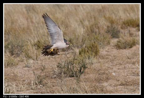 Falcon kill