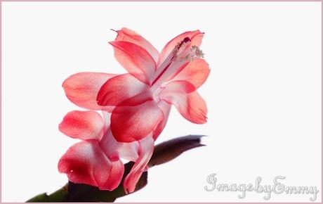 fragile cactus flower