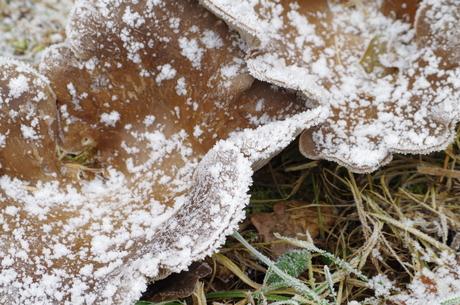 Paddenstoel in de Winter