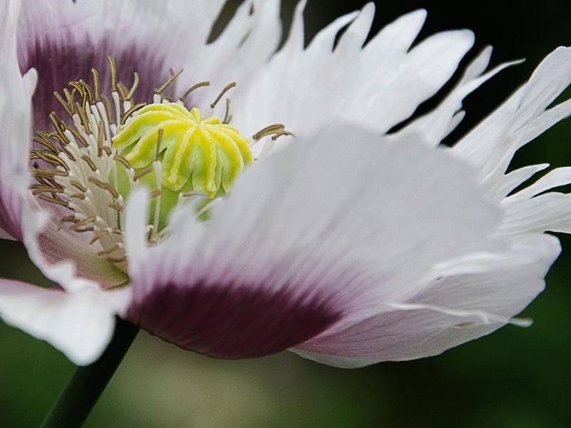 Prachtig onkruid - Geen idee welke plant dit is, maar dit groeide tussen mijn tegels:P. Ik heb het er in ieder geval niet ergens anders in de tuin neer gezet, dus dan i - foto door mojekieke op 16-06-2010 - deze foto bevat: detail, plantje, onkruid