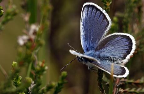 Fly Awy Icarusblauwtje