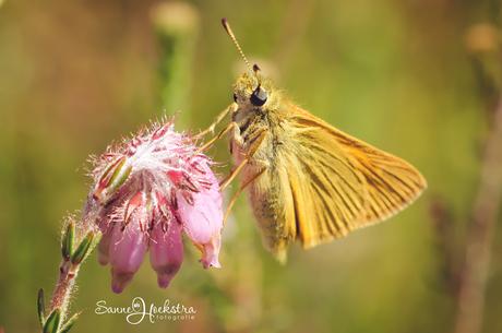 Vlinder Macro Fotografie