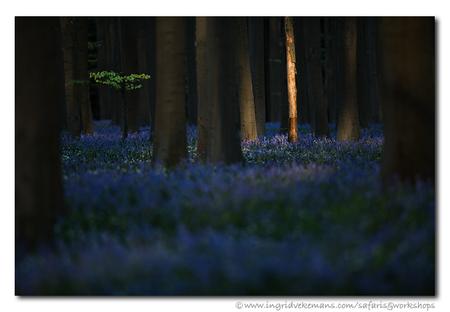 At The Break Of Dawn - Ik moet toegeven dat ik wat doelloos rondloop nu met de camera. OK, het was nu wel erg donker vandaag, maar ook als er wat zon is, is alles dood, kaa - foto door IngridVekemans op 15-01-2020 - deze foto bevat: zon, boom, bloem, lente, natuur, licht, landschap, bos, voorjaar, hallerbos, workshops, fotoreizen, fotosafari, fotosafari's