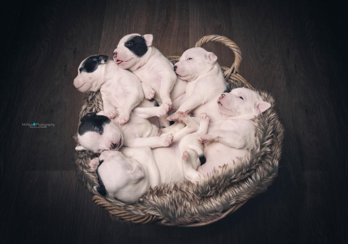 Mandje vol met puppies - Een nesttje puppies van 20 dagen oud ... - foto door monicavdm op 19-05-2016 - deze foto bevat: dieren, hond, terrier, slapen, nestje, pup, puppies, mandje, schattig