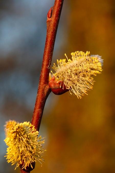 Spring! - Begin maart in Limburg, aan het einde van een fantastisch mooie winterdag, tijdens het gouden uurtje door een natuurgebied gezworven. - foto door Camfred op 06-03-2021 - deze foto bevat: bloem, geel, katjes, voorjaar, bloesem, tak