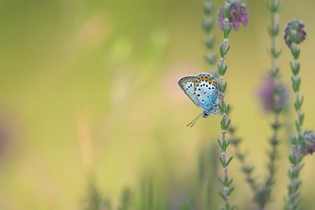 Heideblauwtje - Heideblauwtje aan dopheide. - foto door ErikV74 op 27-06-2020 - deze foto bevat: groen, macro, zon, vlinder, geel, licht, heide, zomer, insect