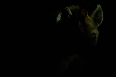 Spotted Hyena at night.jpg