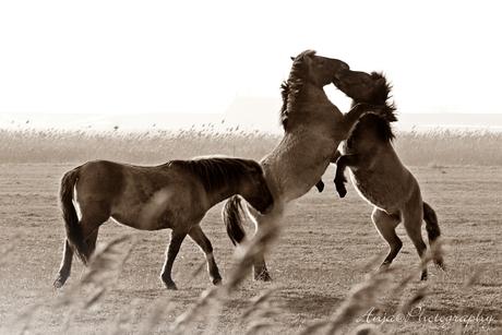 Steigerende konikspaarden
