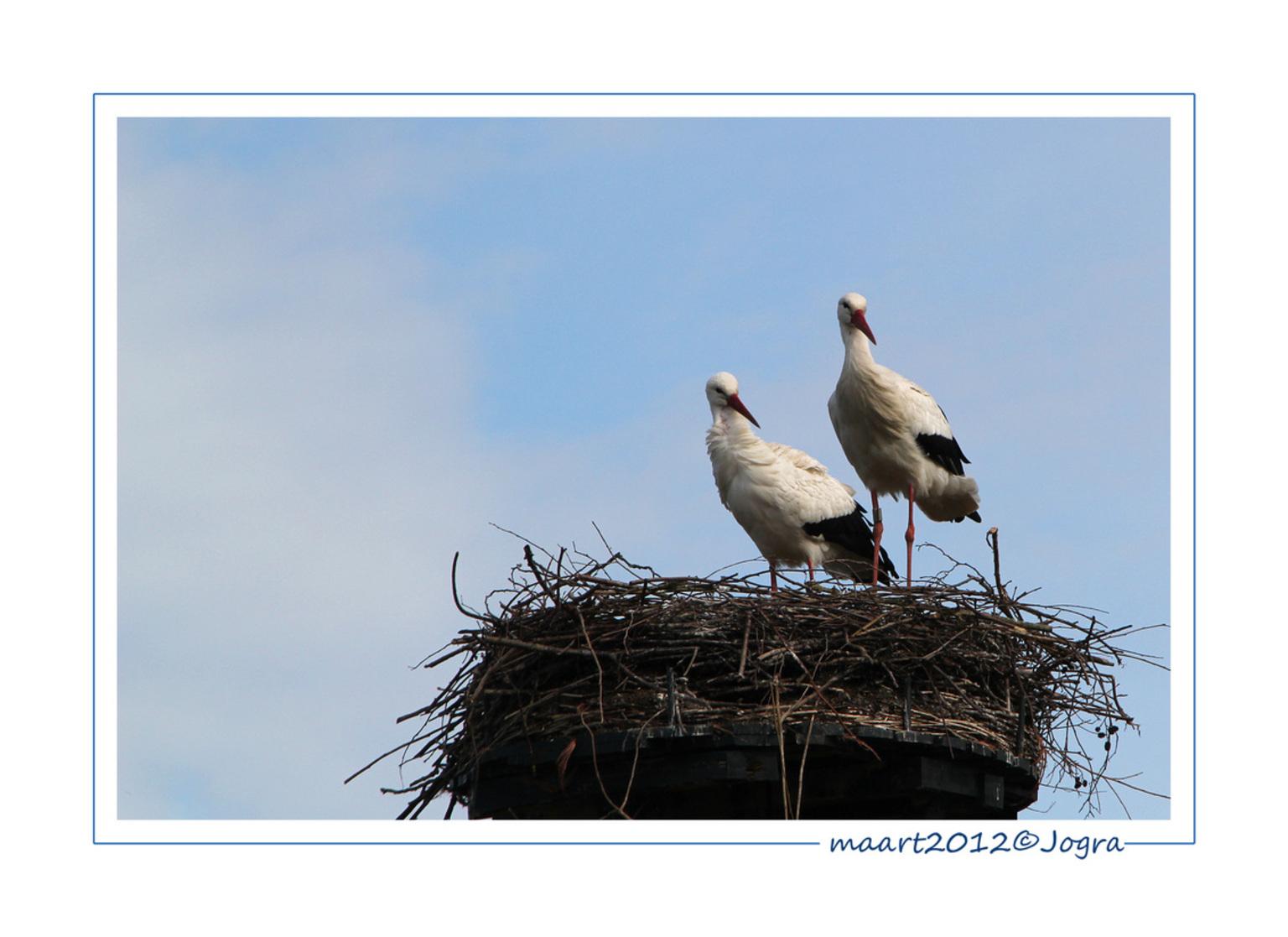 ooievaars - De ooievaars in het Oortjespad zin druk bezig het nest klaar te maken voor gezinsuitbreiding. - foto door Lathyrus op 25-03-2012 - deze foto bevat: lente, ooievaars, nest, oortjespad