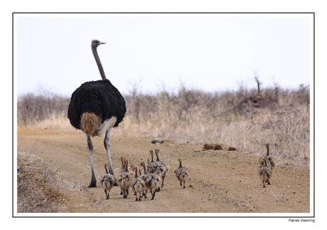 Papa Struisvogel met zijn kroost