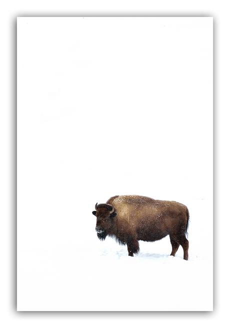Just a bison..