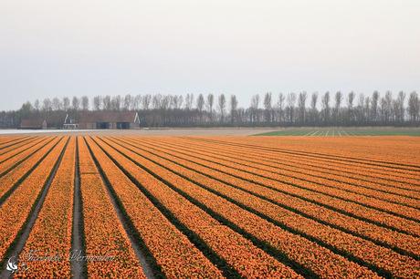 Oranje tulpen in Zeeland