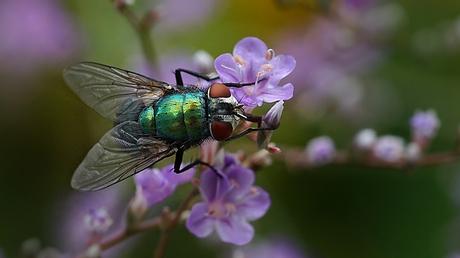 Groene vlieg op paars bloemetje